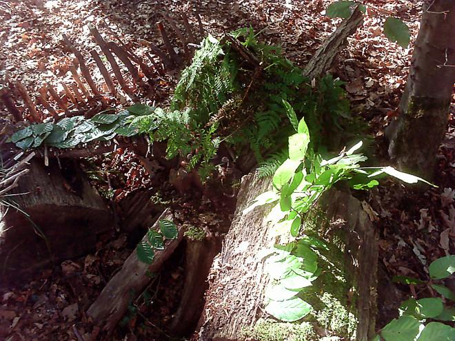 Waldwichtel 06